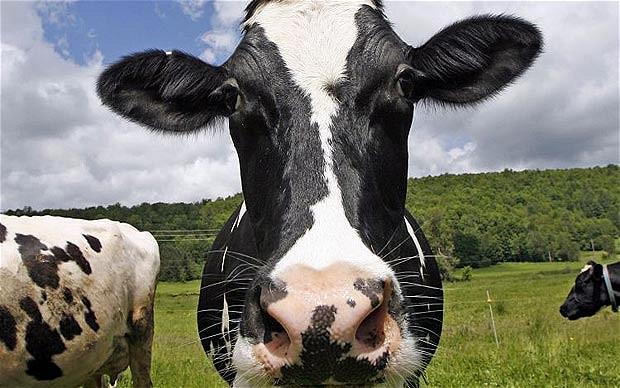 Cows are remarkably awesome animals